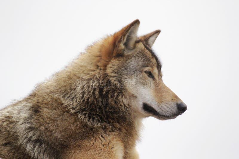 Cabeça do lobo foto de stock royalty free