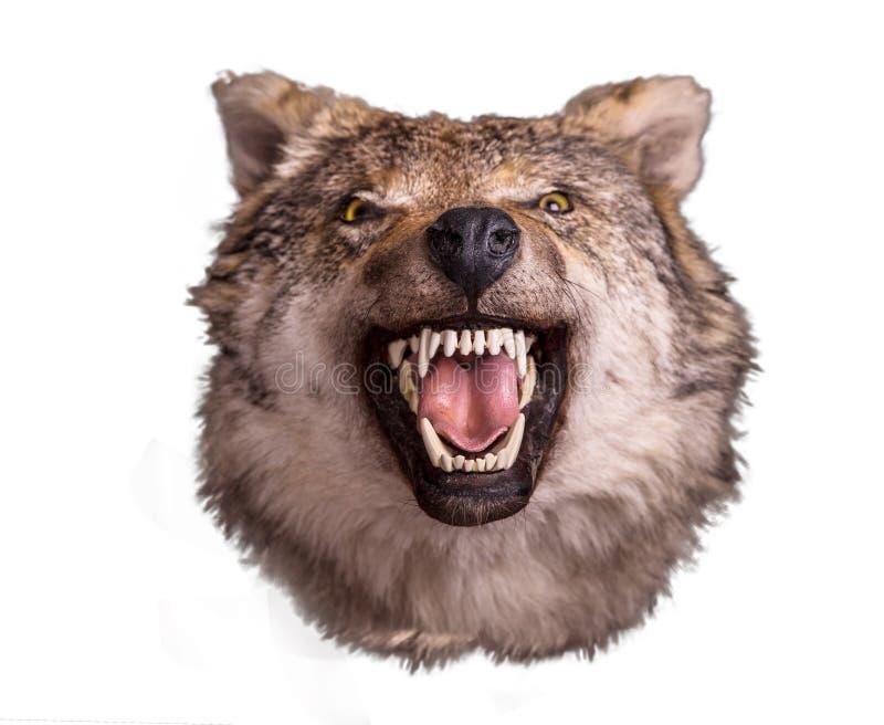 Cabeça do lobo com a cara irritada no fundo branco imagem de stock royalty free