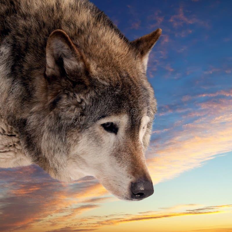 Cabeça do lobo de encontro ao por do sol fotografia de stock royalty free