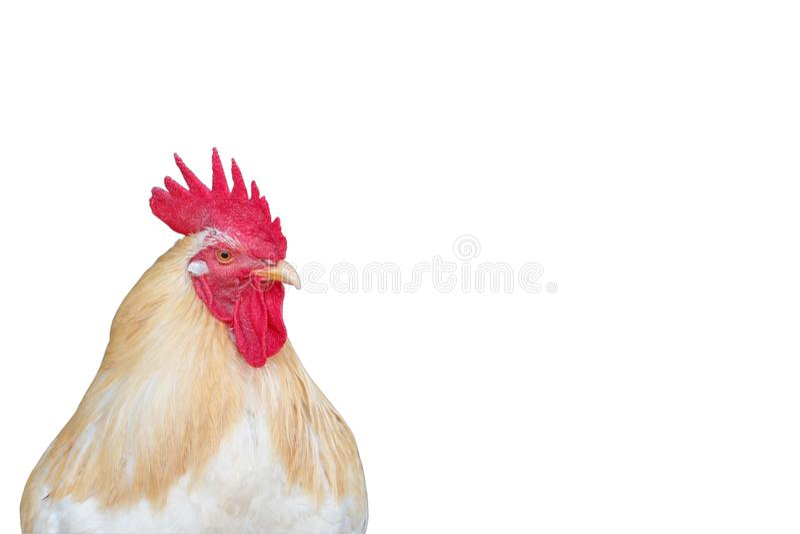 Cabeça do olhar da galinha algo imagem de stock