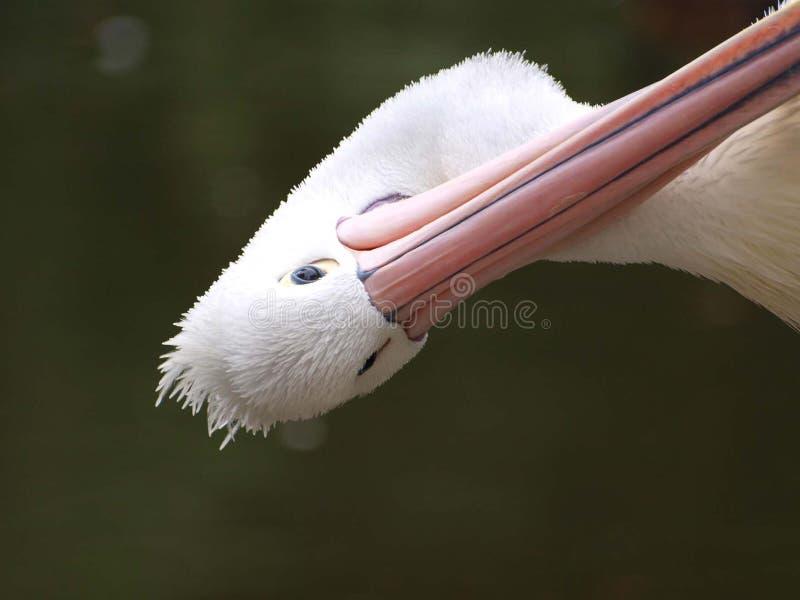 Cabeça do pelicano fotografia de stock