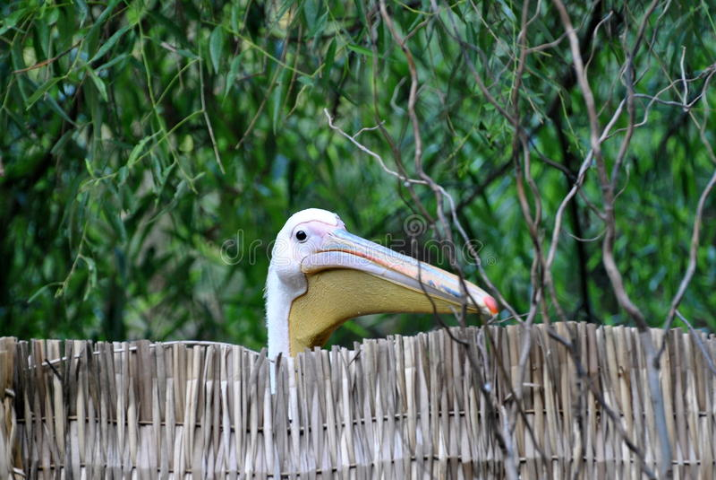 Cabeça do pelicano fotos de stock