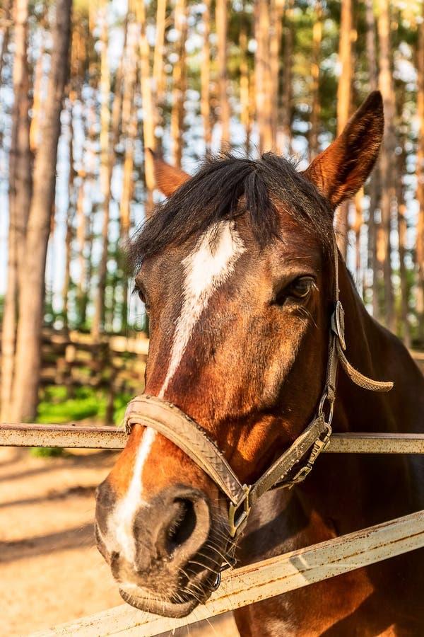 Cabeça do ` s do cavalo com freio; tiro exterior do close-up fotos de stock royalty free