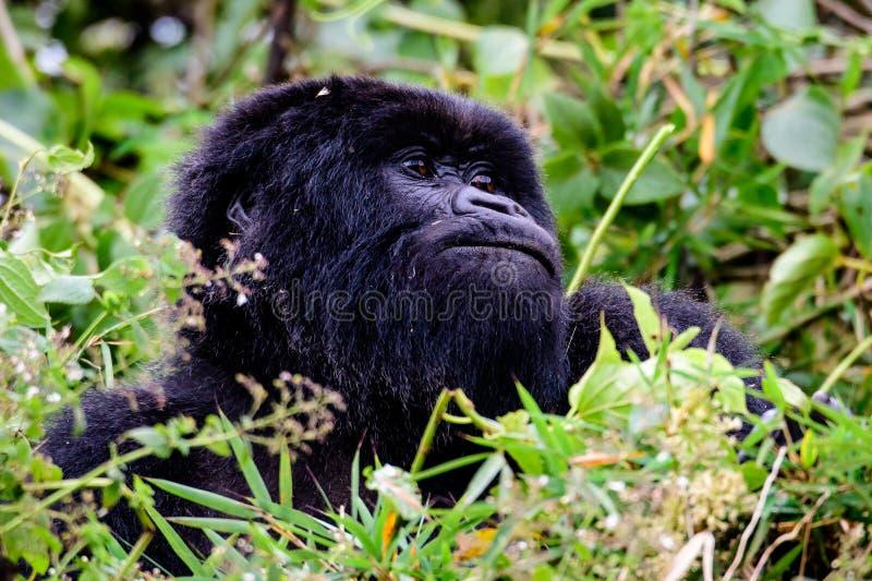 Cabeça do ` s do gorila de montanha na folha imagens de stock royalty free