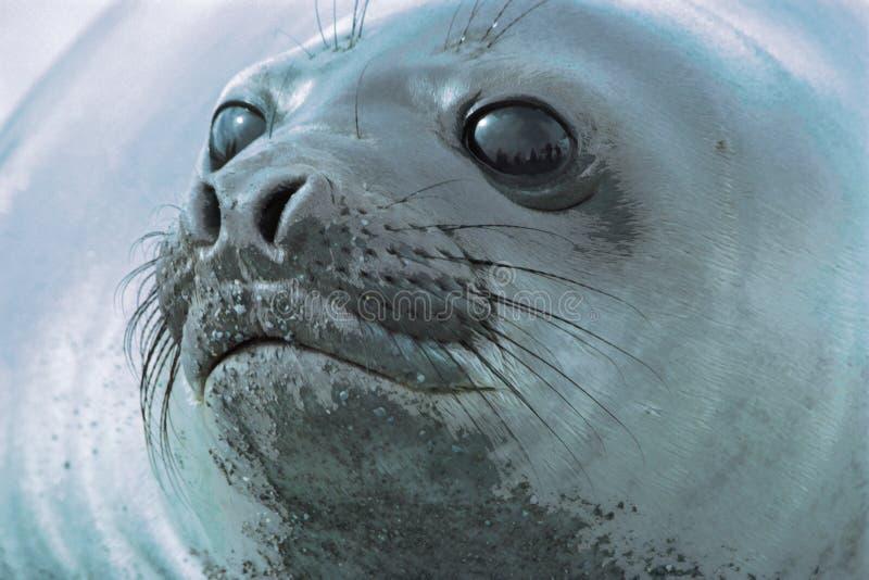 Download Cabeça do selo foto de stock. Imagem de suiças, gelo, selo - 55160