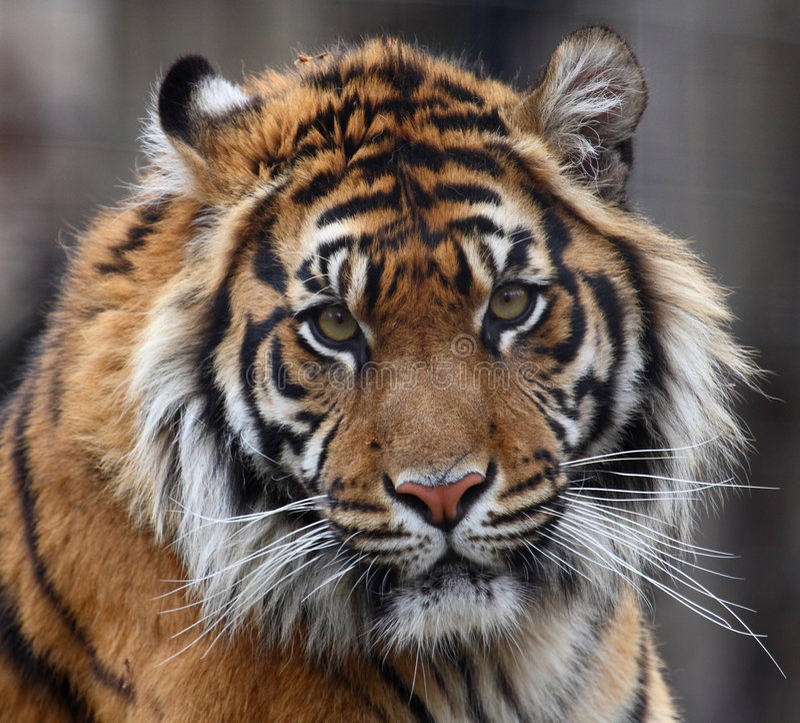 Cabeça do tigre fotos de stock royalty free