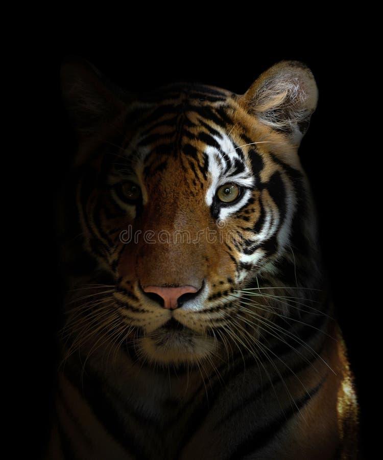 Cabeça do tigre de Bengal fotografia de stock