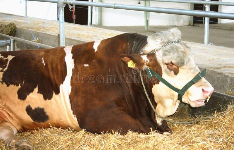 A cabeça do touro grande fotografia de stock