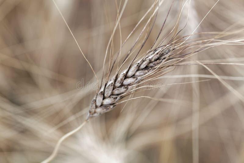 Cabeça do trigo de Khorasan ou do ssp oriental do turgidum do Triticum do trigo turanicum foto de stock