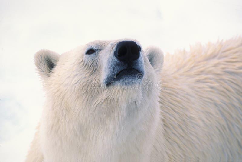 Cabeça do urso polar imagens de stock