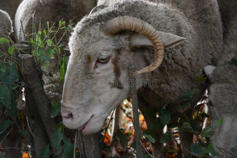 Cabeça dos carneiros ou dos carneiros fotos de stock royalty free