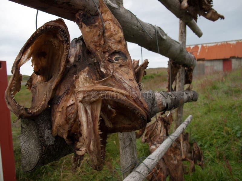Cabeça dos peixes que secam no sol que pendura de uma cerca em uma vila ao leste de Islândia imagens de stock royalty free