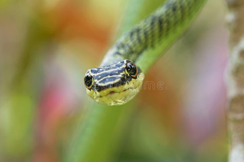 Cabeça dourada da serpente da árvore imagens de stock