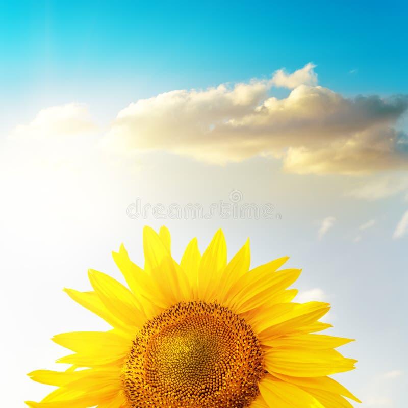 Cabeça dourada do girassol sob o por do sol e o céu azul fotografia de stock