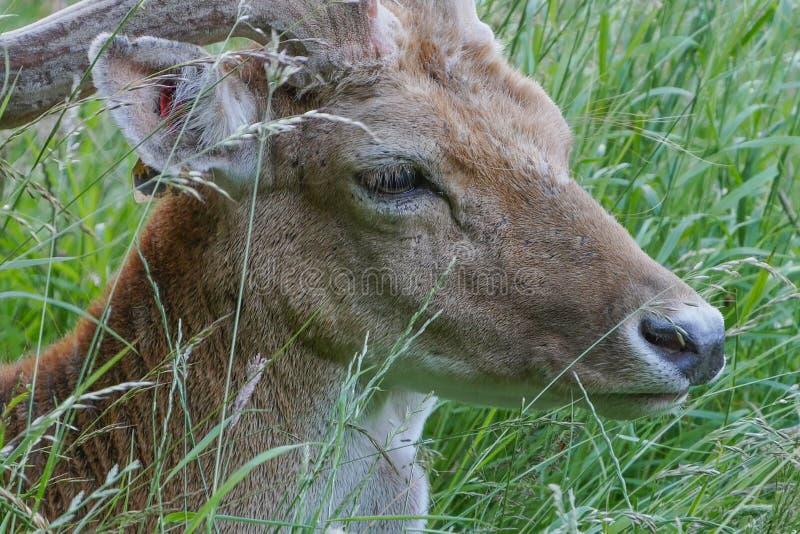 Cabeça e cara do veado do dama juvenil dos gamos/Dama que encontram-se na grama longa imagens de stock