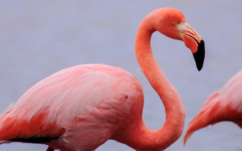 Cabeça e corpo disparados de um flamingo imagem de stock