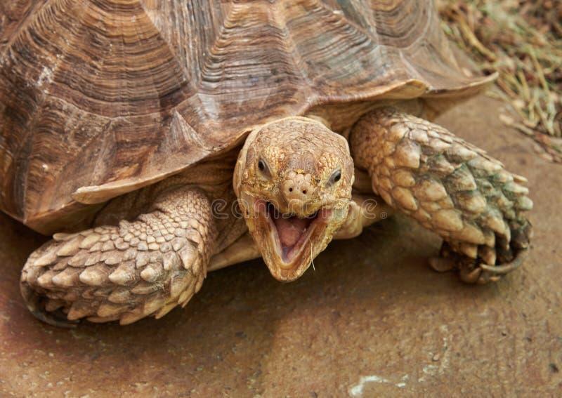 A cabeça e a parte da tartaruga Spurred africana do shell fotografia de stock