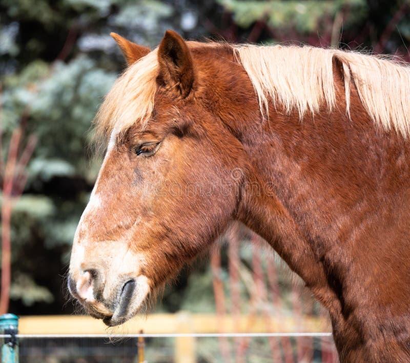 Cabeça e pescoço de um cavalo de esboço belga imagens de stock