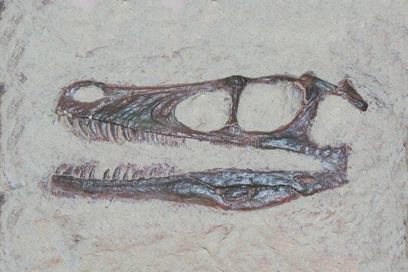 Cabeça fóssil de um dinossauro do velociraptor com theeth afiado fotos de stock royalty free