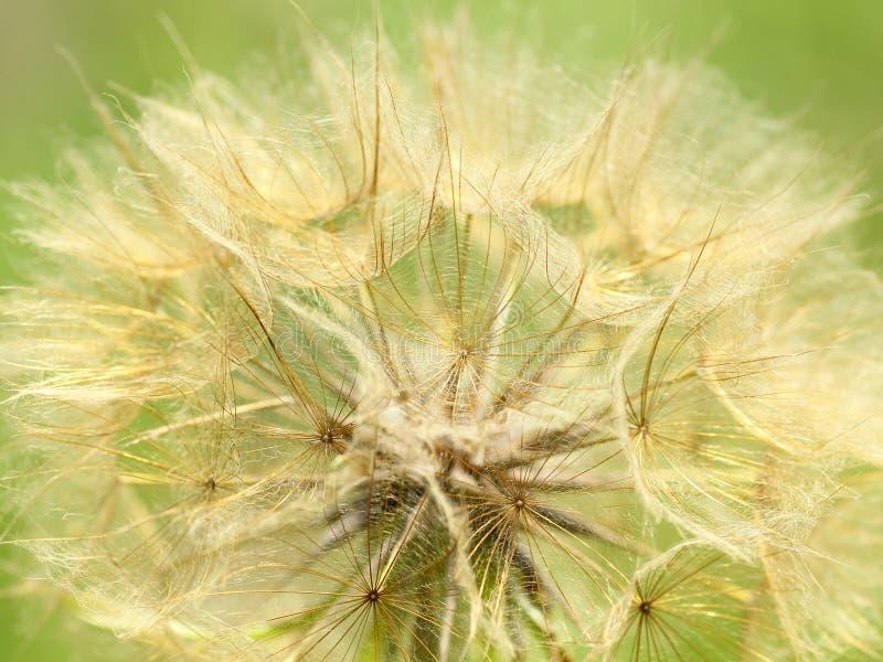 Cabeça gigante da semente do dente-de-leão foto de stock