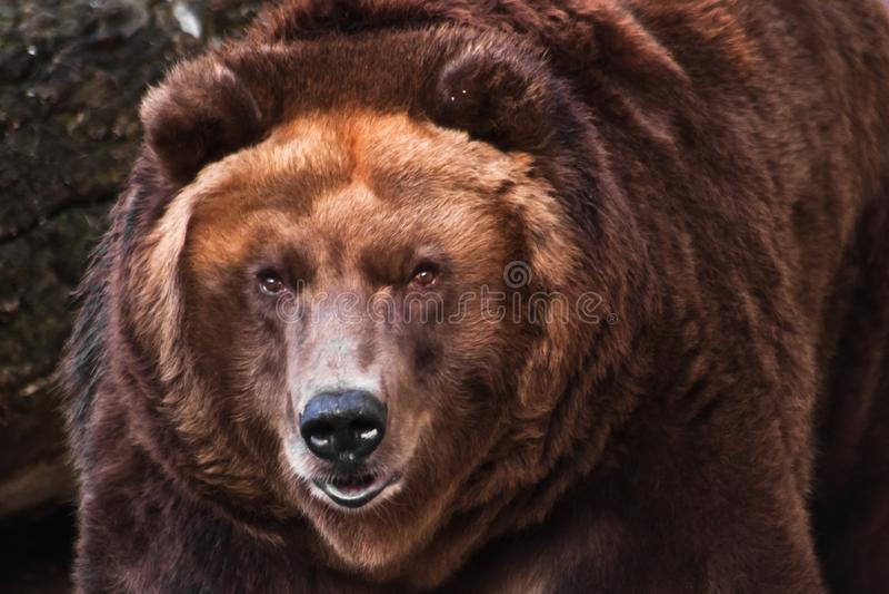 Cabeça grande de um urso marrom enorme fotografia de stock royalty free