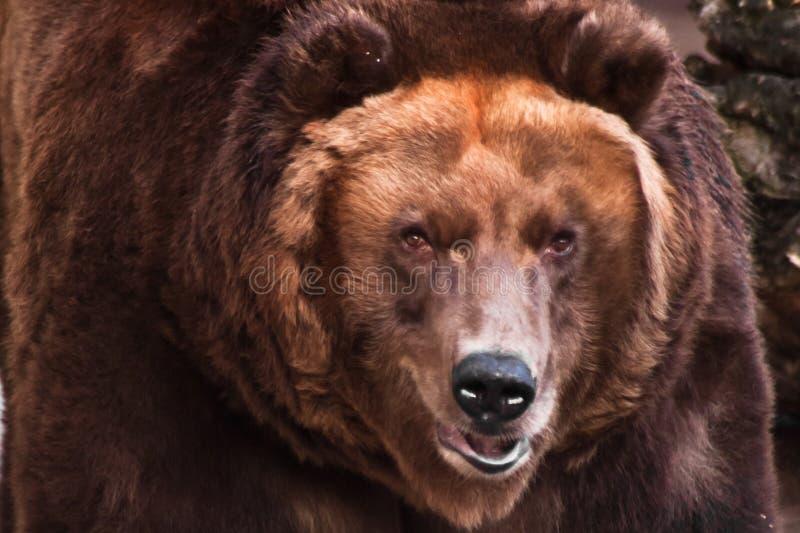 Cabeça grande de um urso marrom enorme foto de stock