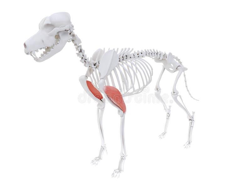 Cabeça lateral do tríceps ilustração royalty free
