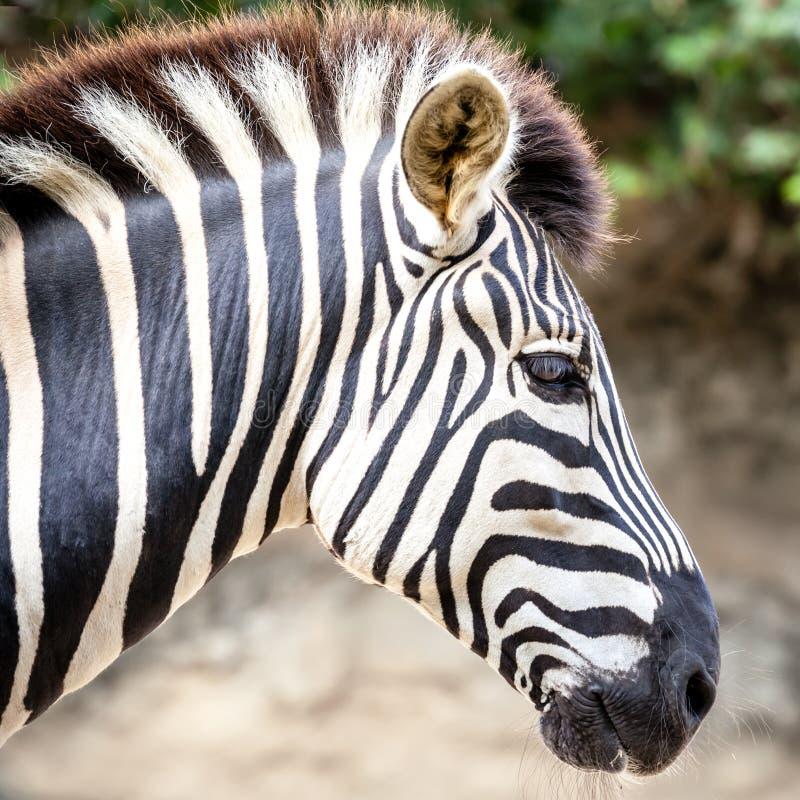 Cabeça listrada impressionante de uma zebra das planícies imagens de stock royalty free