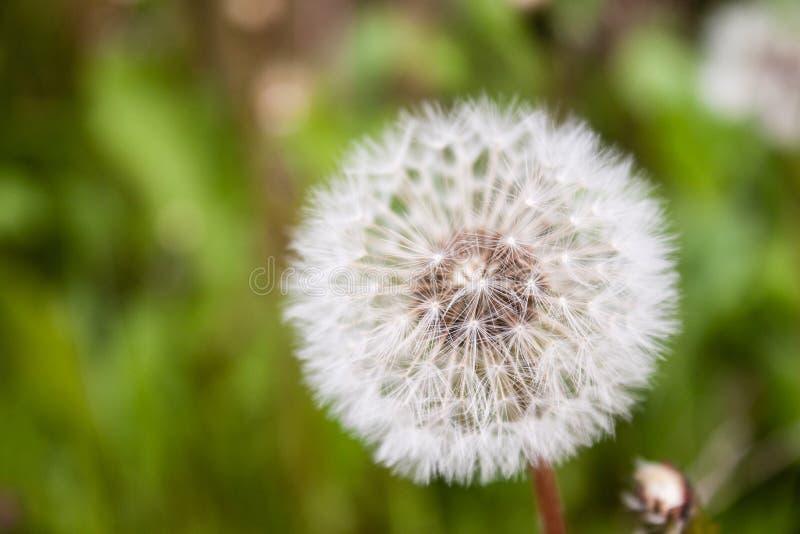 Cabeça macia bonita do dente-de-leão no gramado no orvalho da manhã imagem de stock royalty free
