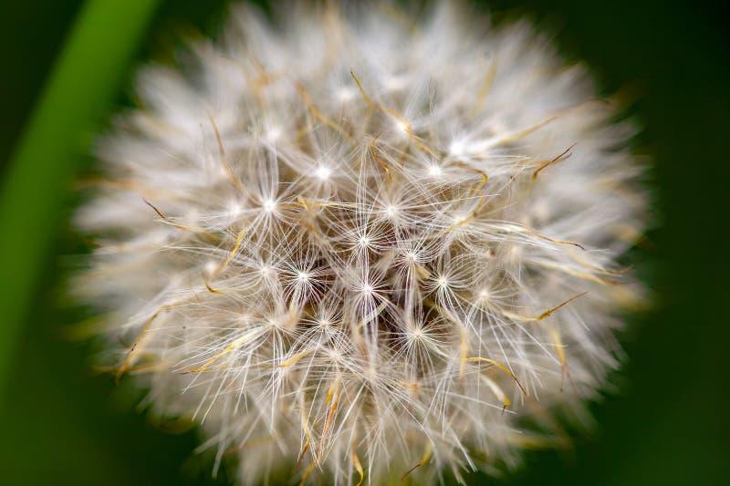 Cabe?a macia completa da semente do dente-de-le imagens de stock royalty free