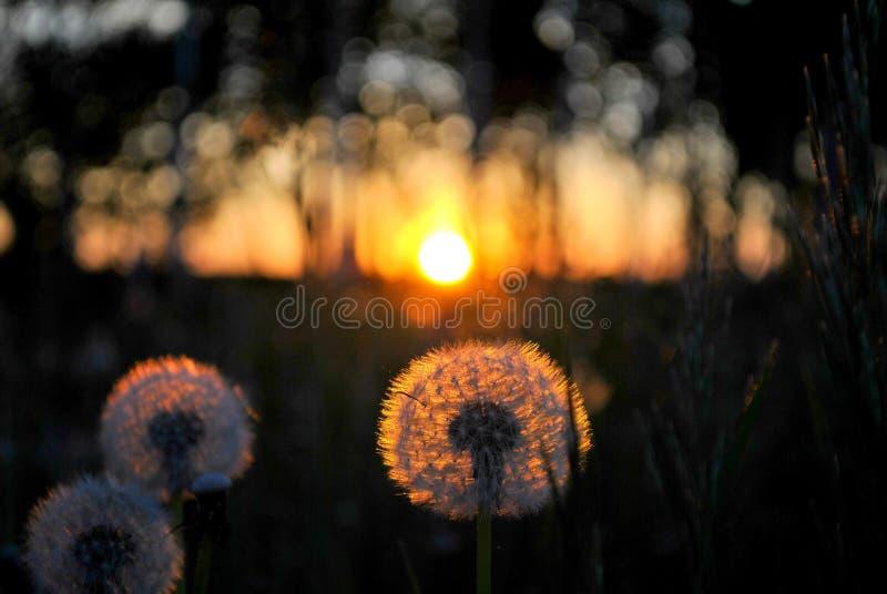 Cabeça macia do dente-de-leão em um fundo borrado das árvores e do por do sol do verão fotos de stock