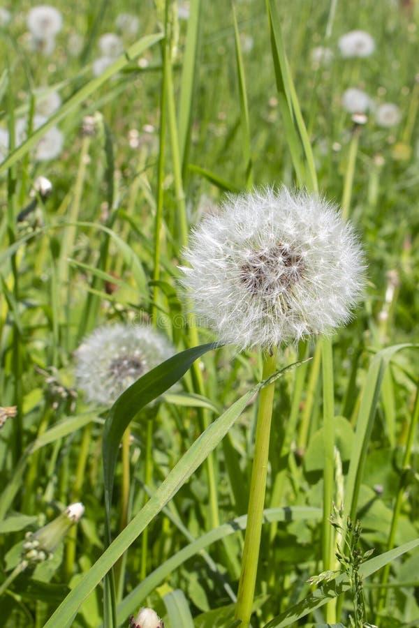 Cabeça macia do dente-de-leão, sementes maduras em uma haste longa na natureza da grama verde A flor amadurecida do dente-de-leão imagem de stock