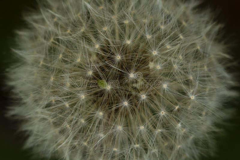 Cabeça macro abstrata da semente do dente-de-leão imagens de stock royalty free
