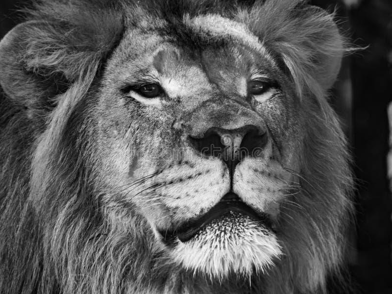 Cabeça preto e branco do leão fotos de stock royalty free