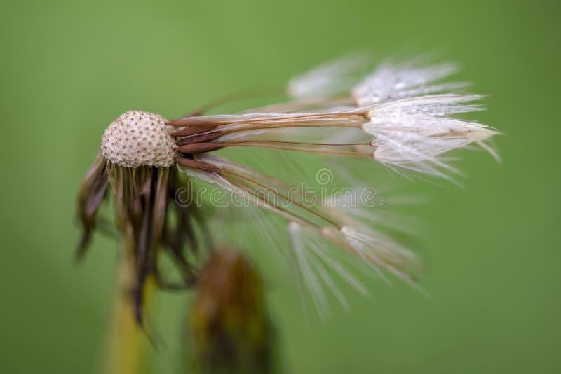 Cabe?a quase sem sementes da semente do dente-de-le?o imagem de stock