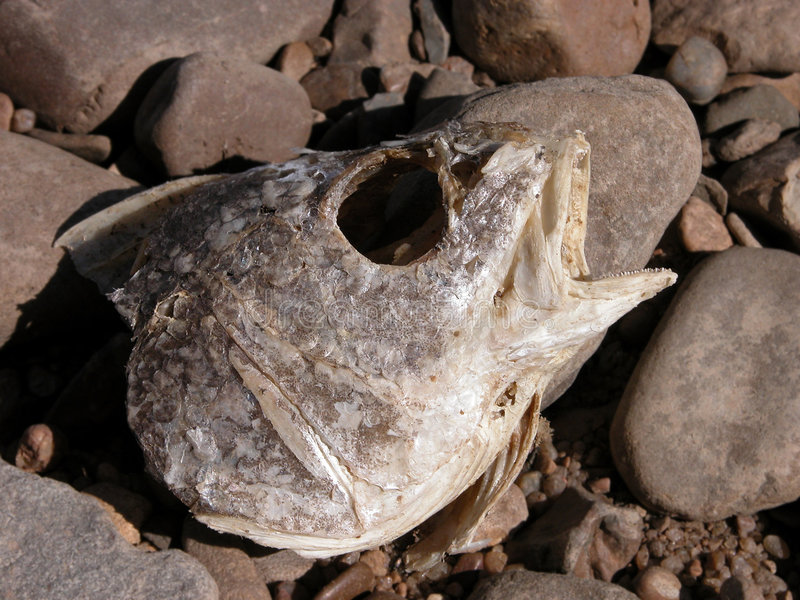 Cabeça Rotting dos peixes nas rochas do rio foto de stock