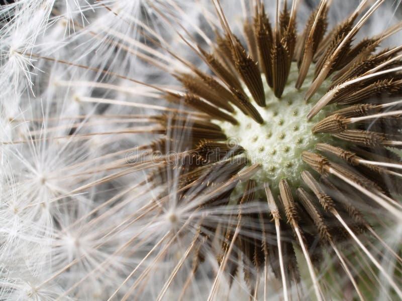 Cabeça secada da semente do dente-de-leão imagem de stock royalty free