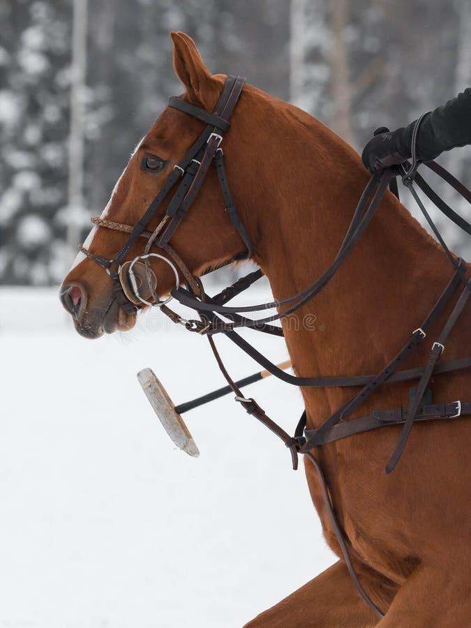 Cabeça vermelha do pônei do cavalo no chicote de fios no polo do cavalo fotos de stock