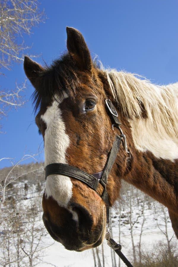 Cabeçada desgastando do cavalo imagem de stock