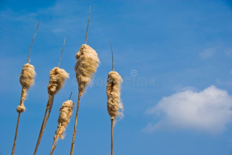 Cabeças da semente do Cattail foto de stock