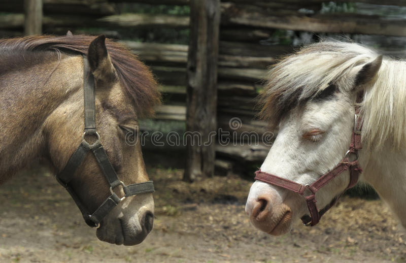 Cabeças de dois cavalos fotos de stock royalty free