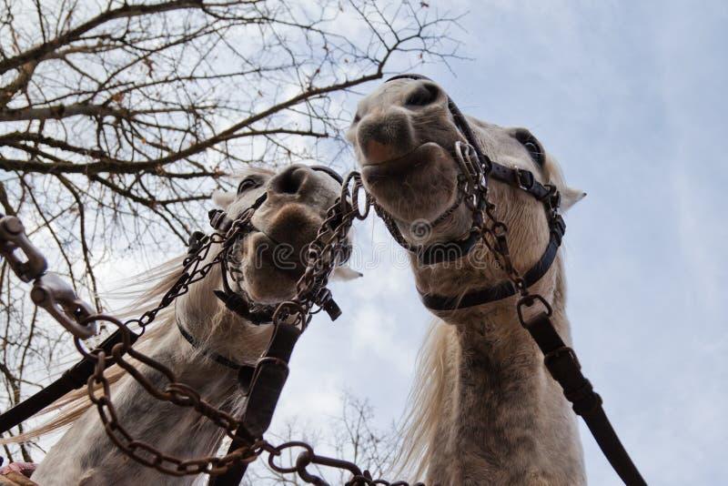 Download Dois cavalos de transporte foto de stock. Imagem de cabeça - 29844840