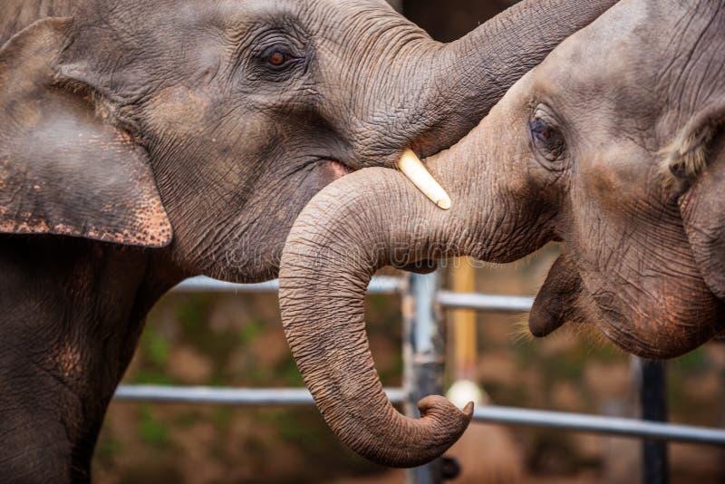 Cabeças de elefantes asiáticos em Sri Lanka foto de stock