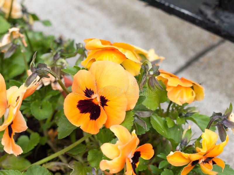 Cabeças de flor alaranjadas e pretas lindos na caixa na parte dianteira de ho fotos de stock royalty free