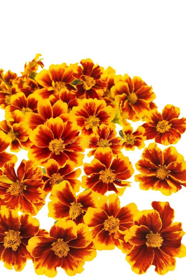 Cabeças de flor do Marigold sobre o branco fotografia de stock royalty free