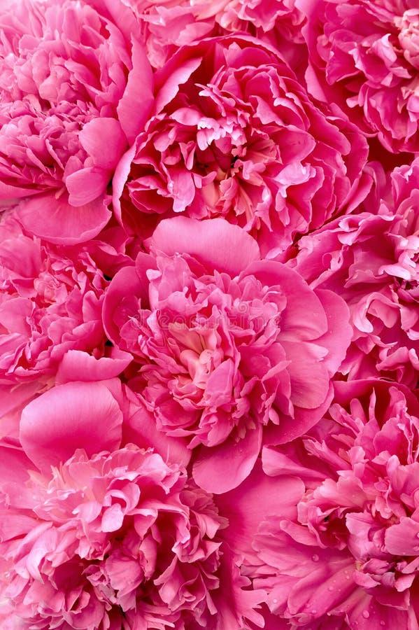 Cabeças de flor do Peony - fundo foto de stock royalty free