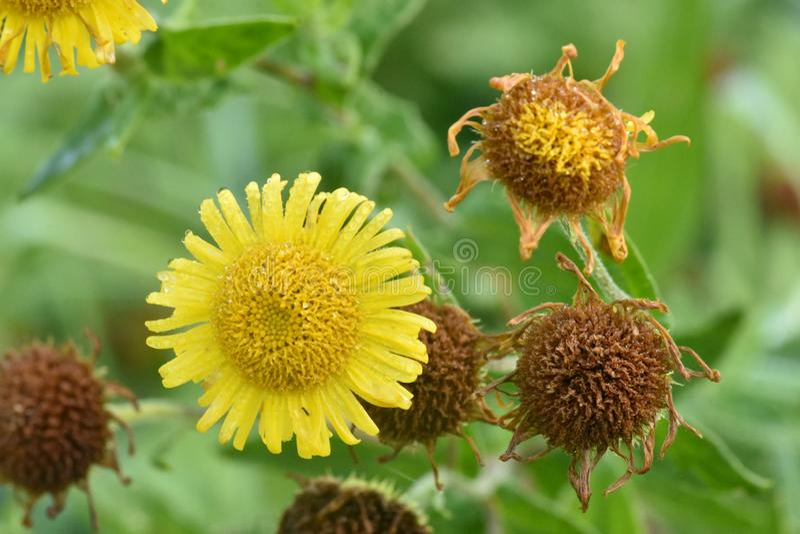 Cabeças de flor vibrantes de Fleabane comum - dysenterica do Pulicaria fotos de stock royalty free