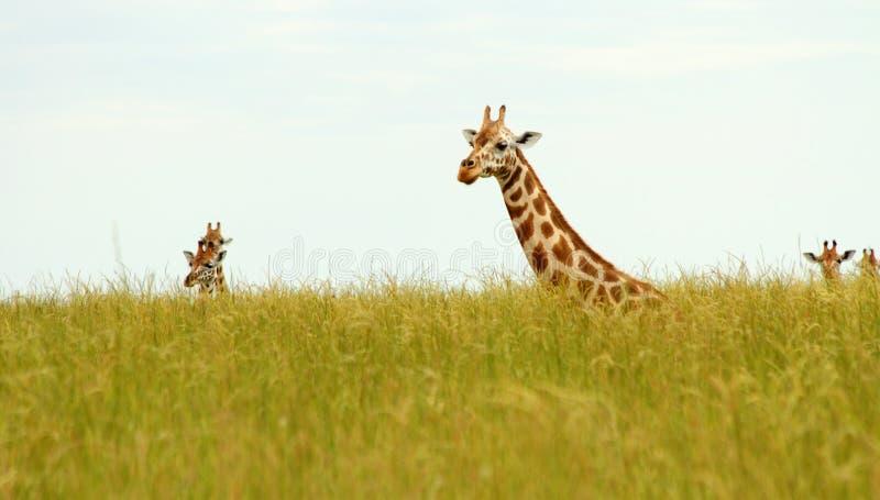 Cabeças do girafa que picam acima fora de Savannah Grass fotografia de stock royalty free