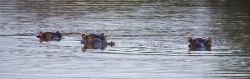 Cabeças do hipopótamo três que cola fora da água para esconder de uma SU foto de stock royalty free
