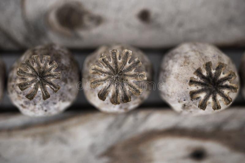 Cabeças secas da papoila imagem de stock